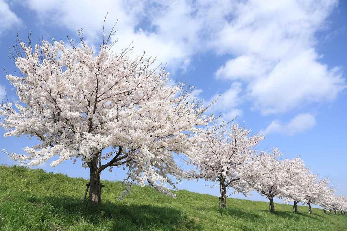 桜という花の意味